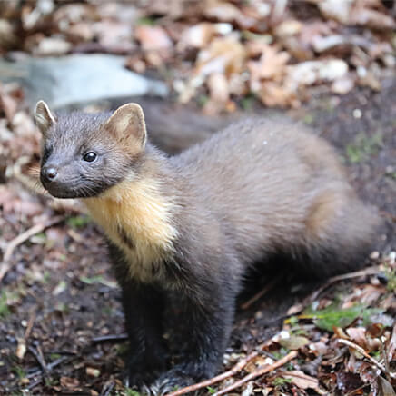 Greetings Card Pine Marten