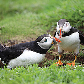 Greetings Card Puffins