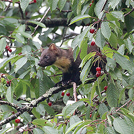 Greetings Card Pine Marten in Cherry Tree