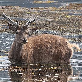Greetings Card Red Deer Swimming