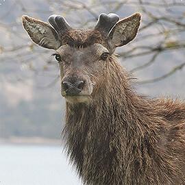 Greetings Card Red Deer - Stag